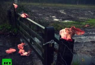 Ρατσιστική κτηνωδία στην Ολλανδία: Με κομμένα κεφάλια γουρουνιών υποδέχονται τους πρόσφυγες